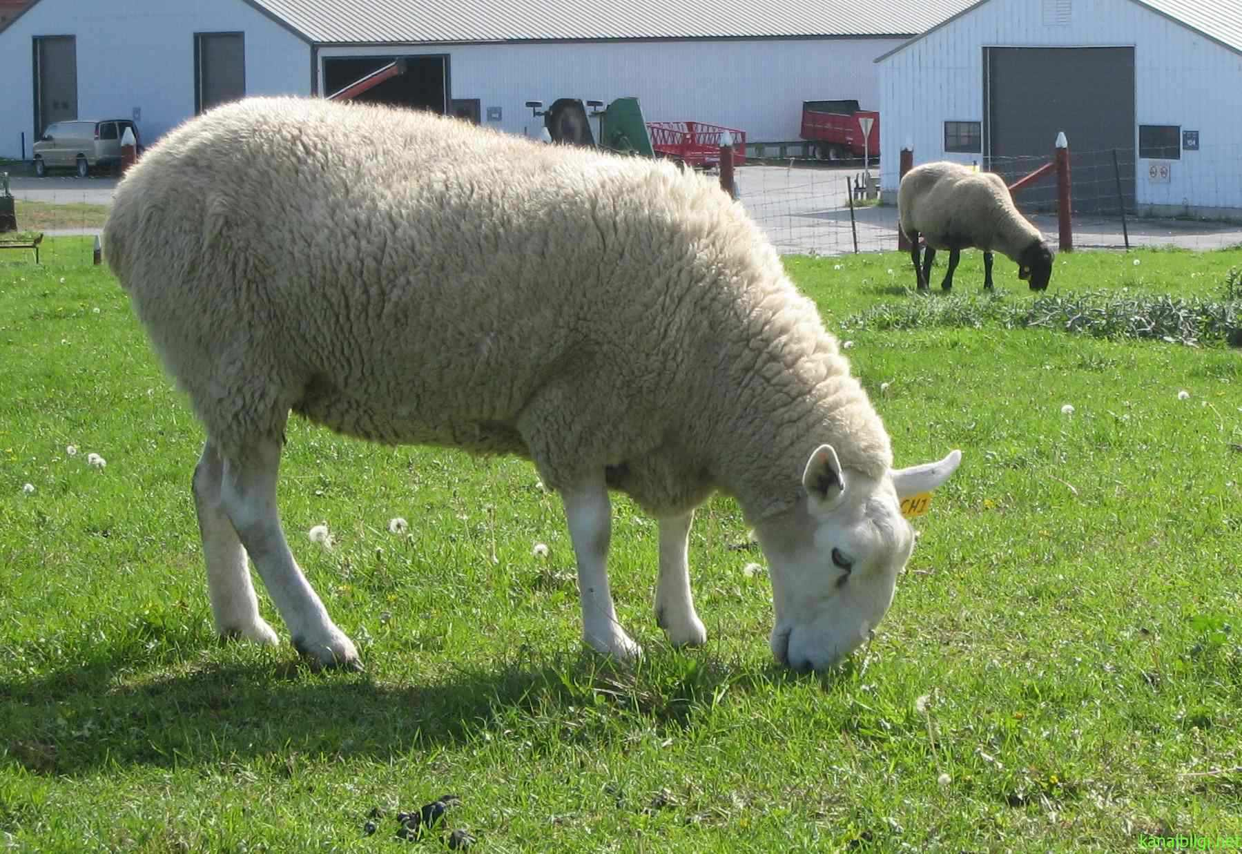 adaklik-nerede-kesilir-adaklik-koyun-fiyatlari